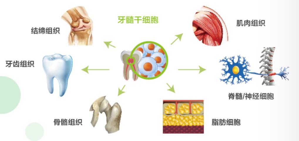 什么是牙髓干细胞的组织部分